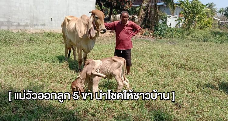 แม่วัวออกลูก 5 ขา