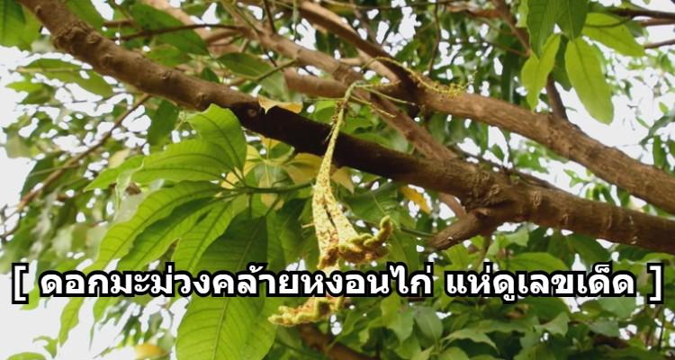 ฮือฮาเลขเด็ดต้นมะม่วง
